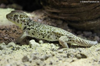 Roborowskis Wundergecko (Teratoscincus roborowskii)