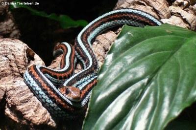 Strumpfbandnatter (Thamnophis sirtalis)