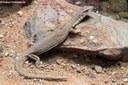 Varanus caudolineatus