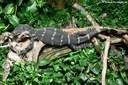 Varanus ornatus