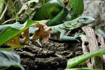 Smaragdwaran (Varanus prasinus)