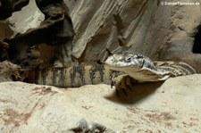 Spencer's Waran (Varanus spenceri) im Kölner Zoo