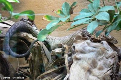 Trauerwaran (Varanus tristis orientalis)