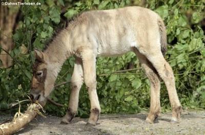 Junges Przewalski-Pferd (Equus ferus przewalskii)