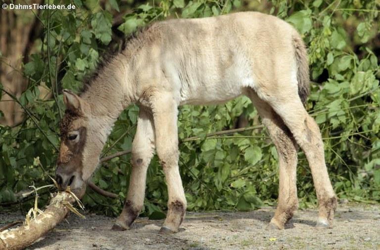 Equus ferus przewalski
