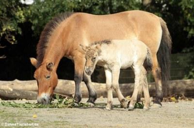 Przewalski-Pferde (Equus ferus przewalskii)