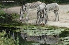 Grevyzebras (Equus grevyi) im Zoo Köln