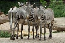 Grevyzebra (Equus grevyi) im Zoo Köln