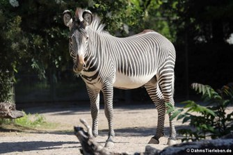 Grévyzebra (Equus grévyi)