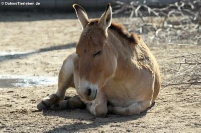 Asiatischer Esel - Onager (Equus hemionus onager)
