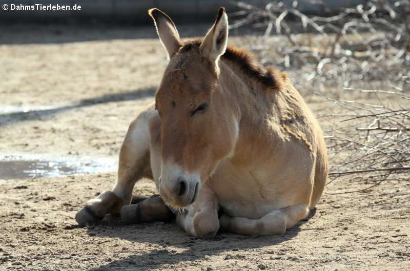 Equus hemionus onager