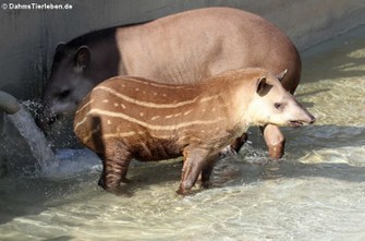 Flachland-Tapire (Tapirus terrestris)
