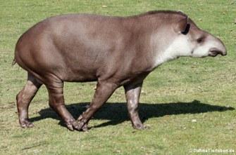 Flachland-Tapir (Tapirus terrestris)
