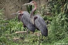 Goliathreiher (Ardea goliath) im Kölner Zoo