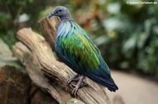 Kragentaube oder Mähnentaube (Caloenas nicobarica) im Kölner Zoo