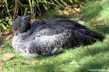 Halsband-Wehrvogel (Chauna torquata) im Kölner Zoo
