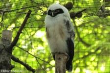 Brillenkauz (Pulsatrix perspicillata) im Kölner Zoo