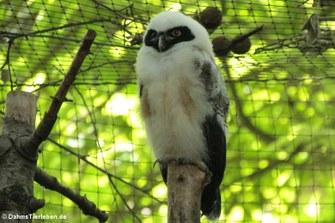 Brillenkauz Lola (Pulsatrix perspicillata)