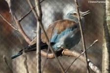 Blauracke (Coracias garrulus) im Kölner Zoo