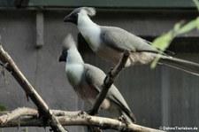 Nacktkehl-Lärmvögel (Corythaixoides personatus) im Kölner Zoo