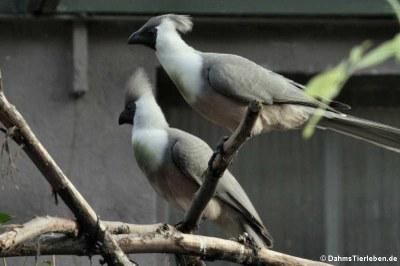 Nacktkehl-Lärmvögel (Corythaixoides personatus)
