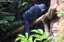 Blau-Seidenkuckuck (Coua caerulea) im Kölner Zoo