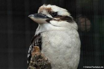Jägerliest (Dacelo novaeguineae)