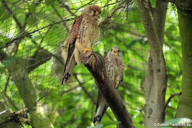 Falco tinnunculus tinnunculus