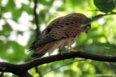 Turmfake (Falco tinnunculus)