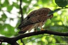 Turmfalke (Falco tinnunculus tinnunculus) im Kölner Zoo