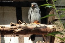 männlicher Rotfußfalke (Falco vespertinus) im Kölner Zoo