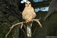 weiblicher Rotfußfalke (Falco vespertinus) im Kölner Zoo