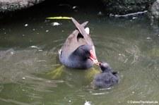 Teichrallen (Gallinula chloropus chloropus) im Kölner Zoo