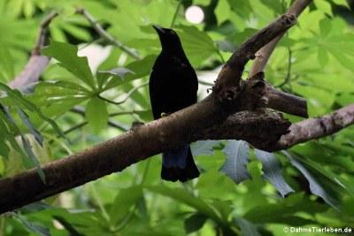 Elfenblauvogel oder Türkisfeenvogel (Irena puella)