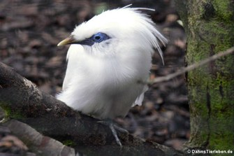 Balistar (Leucopsar rothschildi)