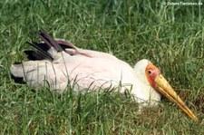 Nimmersatt (Mycteria ibis) im Kölner Zoo