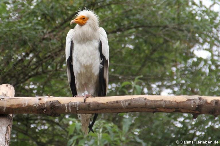Neophron percnopterus percnopterus