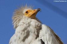 Westlicher Schmutzgeier (Neophron percnopterus percnopterus) im Zoo Köln