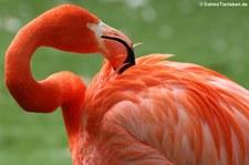 Roter Flamingo (Phoenicopterus ruber ruber) im Zoo Köln