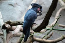 Palmkakadu oder Arakakaku (Probosciger aterrimus) im Zoo Köln
