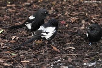 Elsterwürger (Urolestes melanoleucus)