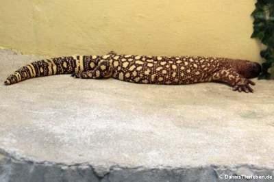 Skorpion-Krustenechse (Heloderma horridum exasperatum)