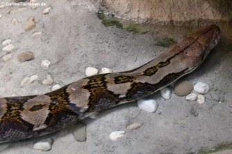 Djampea-Netzpython (Malayopython reticulatus)