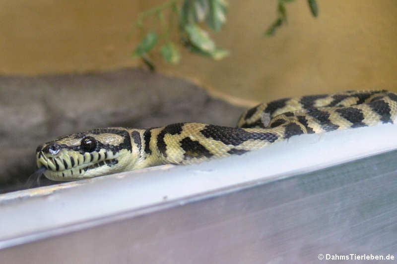 Pythonidae — DahmsTierlebende