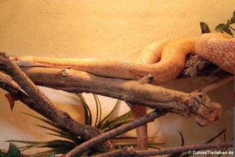 Pazifische Gophernatter (Pituophis catenifer catenifer)