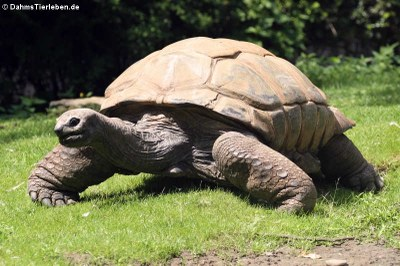Seychellen-Riesenschildkröte (Aldabrachelys gigantea)