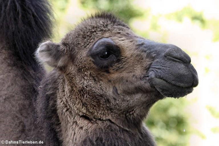 Camelus ferus