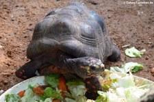 Köhlerschildkröte (Chelonoidis carbonaria) im Zoo Krefeld