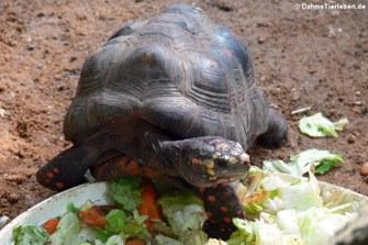 Köhlerschildkröte (Chelonoidis carbonaria)