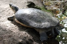 Arrauschildkröte (Podocnemis expansa) im Zoo Krefeld